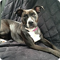 Adopt A Pet :: Tully - Chicago, IL