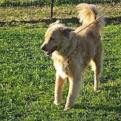 Photo 4 - Golden Retriever/Collie Mix Dog for adoption in Greenville, Rhode Island - Jake