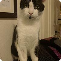 Adopt A Pet :: Lunito - Brooklyn, NY