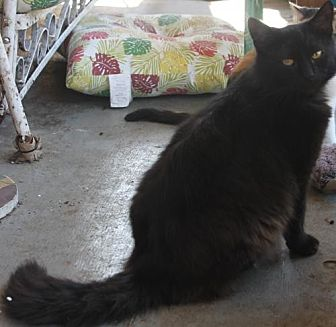 Domestic Longhair Cat for adoption in Morehead, Kentucky - Grover ADULT MALE