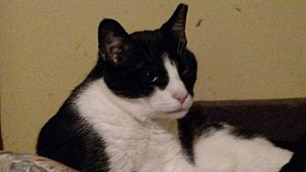 Domestic Shorthair Cat for adoption in Benton, Pennsylvania - Chloe