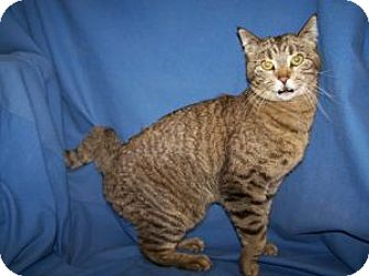 Domestic Shorthair Cat for adoption in Colorado Springs, Colorado - Dulce