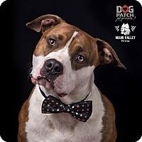 Adopt A Pet :: Apache - Dayton, OH
