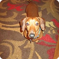 Dachshund Dog for adoption in Lubbock, Texas - ROCKY