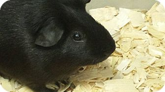 Guinea Pig for adoption in South Bend, Indiana - Beans