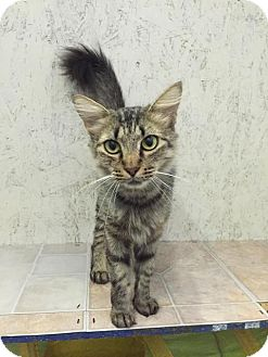 Maine Coon Cat for adoption in St. James City, Florida - Kenya