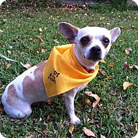 Adopt A Pet :: Dottie - Boerne, TX