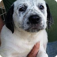 Adopt A Pet :: Badger - Gainesville, FL