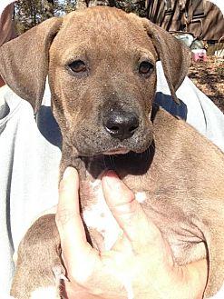 Labrador Retriever Mix Puppy for adoption in Louisville, Kentucky - Gaige