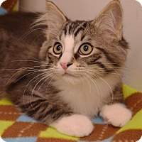 Domestic Mediumhair Kitten for adoption in Flushing, Michigan - Monkey