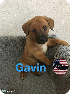 Australian Cattle Dog Mix Puppy for adoption in Westminster, Colorado - Gavin