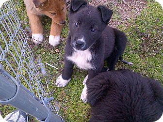 Shepherd (Unknown Type)/Collie Mix Puppy for adoption in Harrisburgh, Pennsylvania - Eyeore