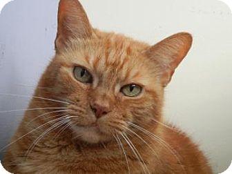Domestic Shorthair Cat for adoption in Miami, Florida - Princess