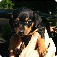 Adopt A Pet :: Steffi - Kingwood, TX