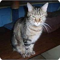 Adopt A Pet :: Nice Ms. Kitty - Hamburg, NY
