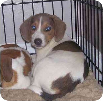 Beagle/Jack Russell Terrier Mix Puppy for adoption in Chandler, Indiana - Trinity