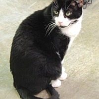 Domestic Shorthair Cat for adoption in Pineville, North Carolina - Ramses