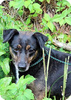 Beagle/Feist Mix Dog for adoption in Yardley, Pennsylvania - Dorothy, a Celebrate Home Dog, Lower Fee