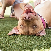American Staffordshire Terrier/Terrier (Unknown Type, Medium) Mix Dog for adoption in Dallas, Texas - Rose