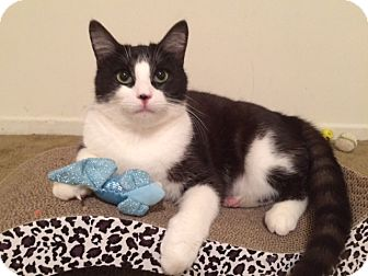 Domestic Shorthair Cat for adoption in Sherman Oaks, California - Benny