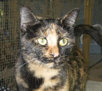 Domestic Shorthair Cat for adoption in Mobile, Alabama - TuTu