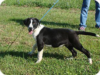 Pointer Mix Puppy for adoption in Cameron, Missouri - schroder