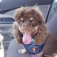 Adopt A Pet :: GIXXER - BROOKSVILLE, FL