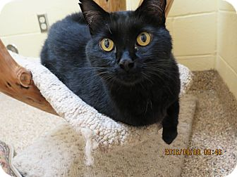 Domestic Shorthair Cat for adoption in Sierra Vista, Arizona - Sugarplum