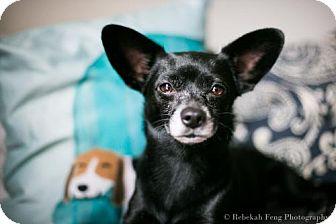 Chihuahua/Dachshund Mix Dog for adoption in Washington, D.C. - Tippy (Has Application)