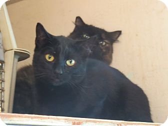 Domestic Shorthair Cat for adoption in Coos Bay, Oregon - Peeper 'Peeps'