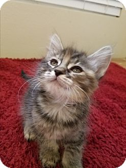Domestic Longhair Kitten for adoption in Monrovia, California - Candace
