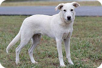 Labrador Retriever Mix Dog for adoption in Broken Arrow, Oklahoma - Reggie