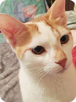 Egyptian Mau Kitten for adoption in York, Pennsylvania - Lilo