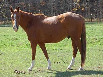 Quarterhorse for adoption in Union, Missouri - JERRY