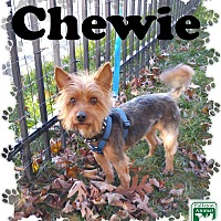 Adopt A Pet :: Chewie - Fallston, MD
