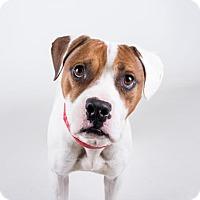 Adopt A Pet :: Mango - Adrian, MI