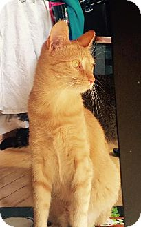 Domestic Mediumhair Cat for adoption in Libertyville, Illinois - Ginny The Pretty
