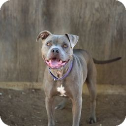 Pit Bull Terrier Dog for adoption in Costa Mesa, California - Hurley