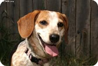 Beagle/Dachshund Mix Dog for adoption in Norman, Oklahoma - Dixie