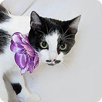 Adopt A Pet :: Mustache - Schererville, IN