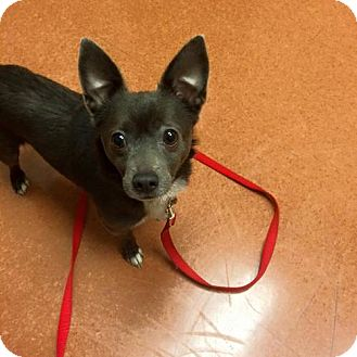 Chihuahua Mix Dog for adoption in Chicago, Illinois - Lucky