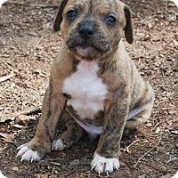 Adopt A Pet :: Macho - Lawrenceville, GA