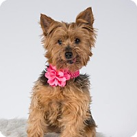 Yorkie, Yorkshire Terrier Dog for adoption in St. Louis Park, Minnesota - Tess