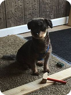 Poodle (Miniature)/Miniature Pinscher Mix Dog for adoption in Nicholasville, Kentucky - Benji
