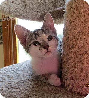 Domestic Shorthair Kitten for adoption in Lockport, New York - Pearl kitten