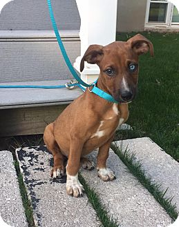 Labrador Retriever/Australian Shepherd Mix Puppy for adoption in New Oxford, Pennsylvania - Isaiah