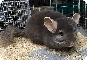 Chinchilla for adoption in Hammond, Indiana - dark tan female chinchilla