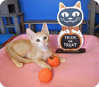 American Shorthair Kitten for adoption in Glendale, Arizona - Stella