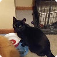 Adopt A Pet :: MIDNIGHT - Bolingbrook, IL
