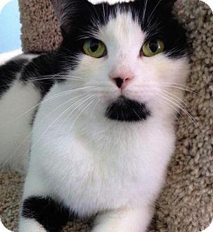 Domestic Shorthair Cat for adoption in Fairfax, Virginia - Jasmine